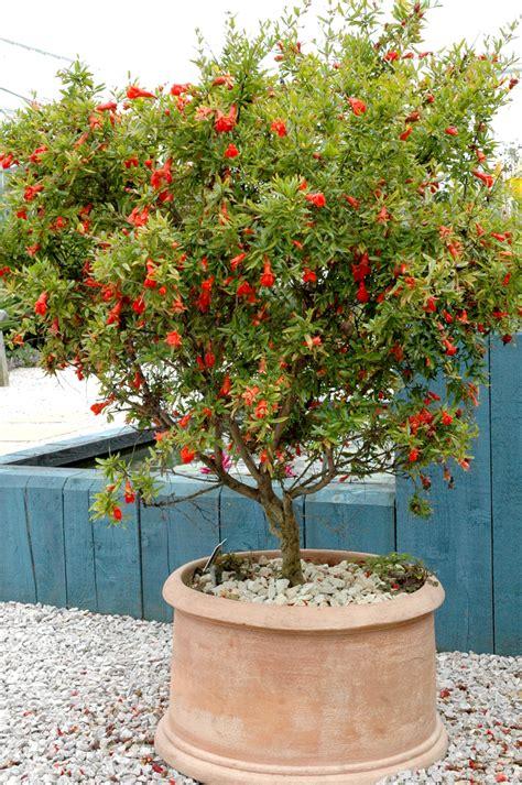 planter des framboisiers en pot quand planter les framboisiers photos de conception de maison agaroth