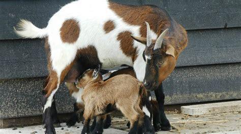 funny goat     laugh pretty hard