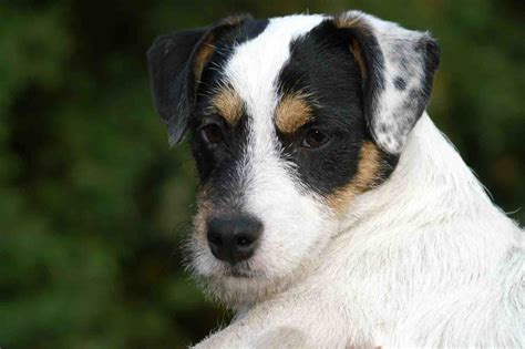 Jack Russell Terrierpictures Of Dogs And All About Dog