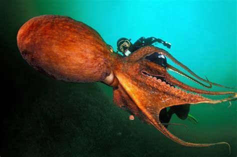 restaurant la cuisine pieuvre géante 8 photos du livre quot planète mers quot