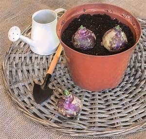 Planter Des Bulbes : planter des bulbes d t nouvelles tropiflora ~ Dallasstarsshop.com Idées de Décoration
