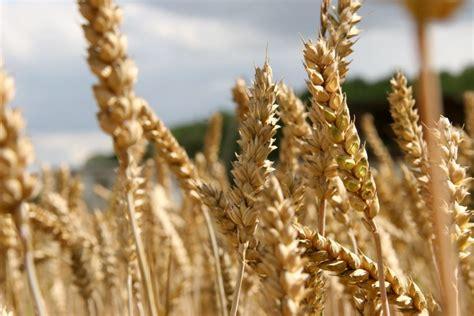 Pasaulē mainīsies kviešu eksportētāju līderu piecinieks | Laukos.lv