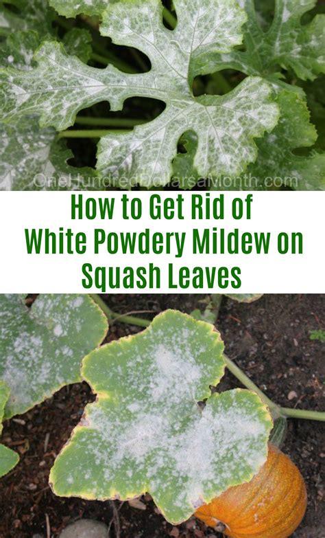 rid  white powdery mildew  squash leaves