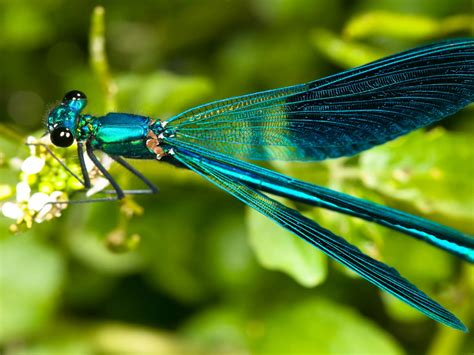 Dragonfly Turquoise Greenhd Wallpaper Wallpapers13com