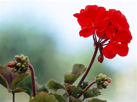 picture of geranium flower geranium care watering and feeding hgtv