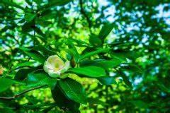 Magnolie Blüht Nicht : magnolie bekommt gelbe bl tter was ist zu tun ~ Buech-reservation.com Haus und Dekorationen