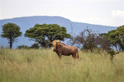 In South Africa, Ranchers Are Breeding Mutant Animals To