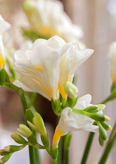 freesia   grow fragrant freesia flowers garden design