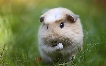 Pig Guinea Pigs Wallpapers 4k Desktop Rodent