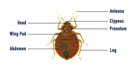 how many bed bugs are in a bed bed bugs how to find and get rid of them servest uk