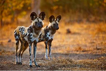 Wild Dog Wallpapers Resolution