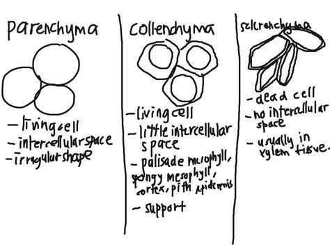 parenchymacollenchymasclerenchyma science biology