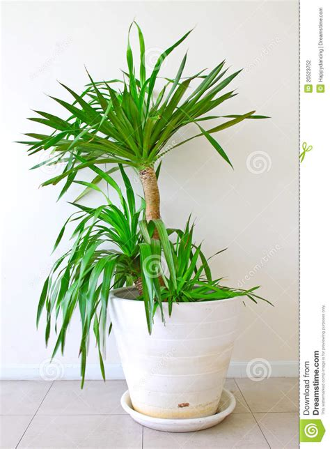 a potted palm tree stock photography image 20523752