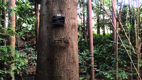candle nut tree  botanical gardens brisbane youtube