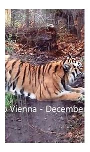 Tigers at Zoo Vienna - video dailymotion