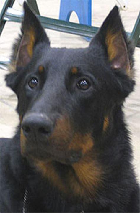 Beauceron Dog Herding Dog Breeds From The Online Dog Dogs In Depth Com