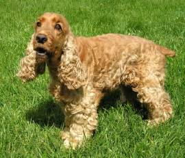 Do Cockapoo Dogs Shed Hair by Picture 1 Of 1 English Cocker Spaniel Pictures Amp Images