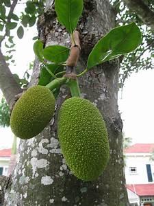Name That Plant Answer: Jackfruit | Tropical Florida Gardens