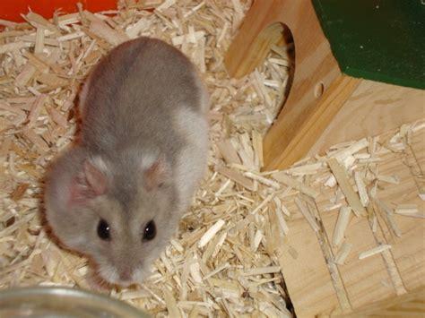 233 volution tumeur chez un hamster