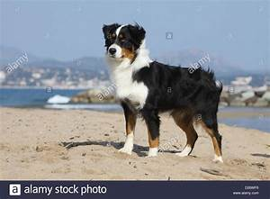 Dog Australian shepherd / Aussie adult black tricolor ...