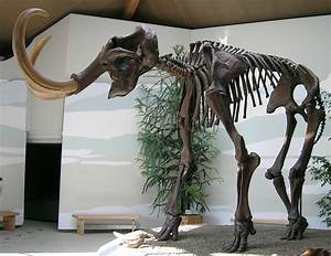Scientists Sequence Woolly Mammoth Genome The First Of An