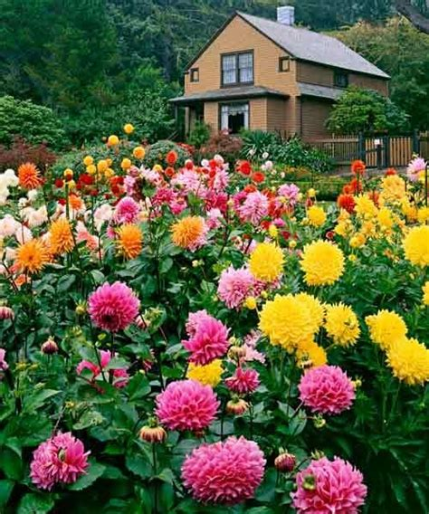 dalia garden 1000 images about dahlias on pinterest gardens fire pots and arabian nights