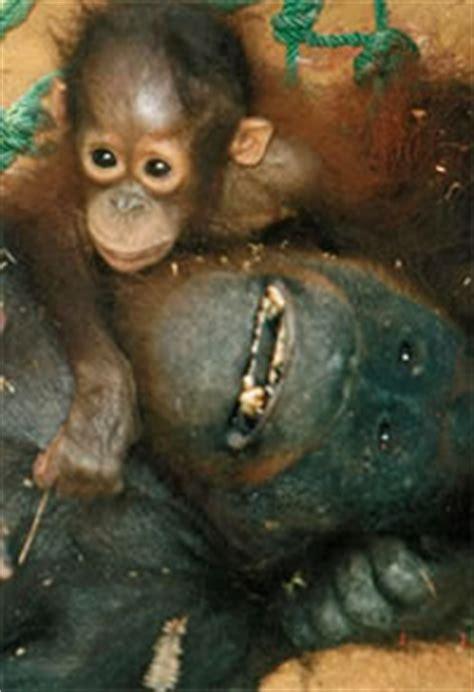 orangutan crisis