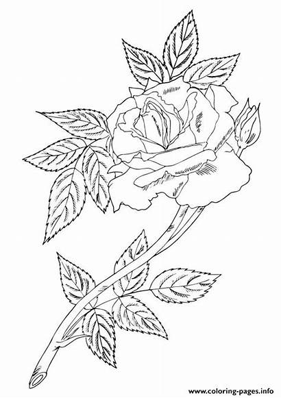 Rose Single Coloring Leaves A4 Pages Printable