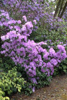 rhododendron federal way rhododendron garden federal way wa spring pinterest federal and gardens