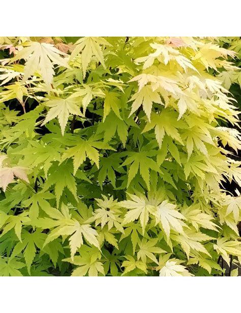 acero giapponese in vaso acer palmatum quot orange quot vaso 30 cm vendita piante