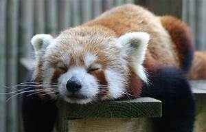 Sleepy Red Panda | Adorable Animals For Lois