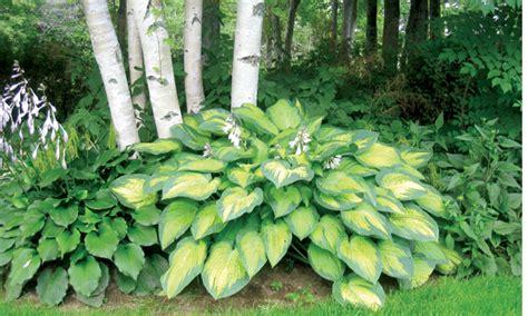 plante d ombre exterieur vivace 192 l aube d une nouvelle saison de jardinage acadie nouvelle