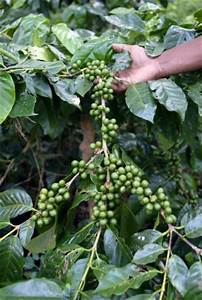 Coffee hit by global warming say growers