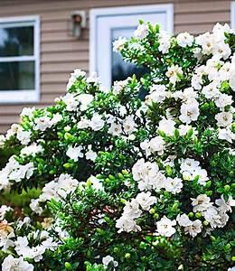 Blühende Sträucher Winterhart : duft gardenia 39 crown jewel 39 bl hende str ucher bei baldur garten ~ Whattoseeinmadrid.com Haus und Dekorationen