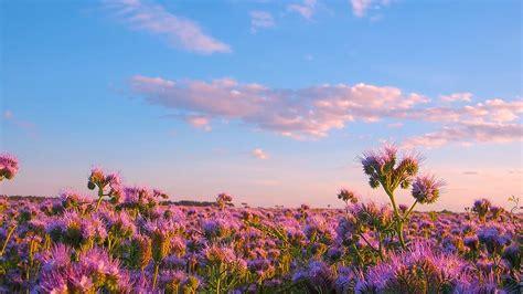 phacelia flower fields proartinc