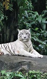 Places To See White Tigers In India, Madhya Pradesh, West ...