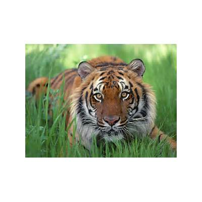 Hd Wallpapers Blog: Bengal Tiger