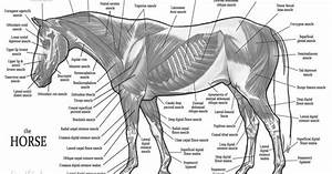 Horse Anatomy  Muscles