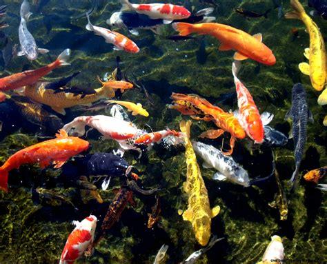 Koi Fish Wallpaper Desktop