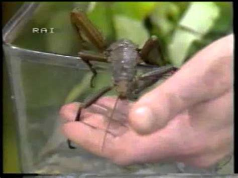 domenica  scarabei  insetti giganti enrico stella