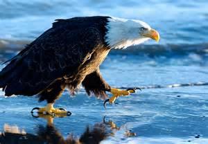 Bald Eagles On Alaska Beaches