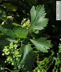 Wild Plants of Malta & Gozo - Plant: Apium graveolens ...