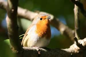 Male Robin Bird