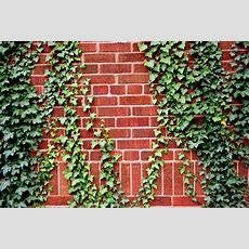 How To Train Climbing Plants To Attach To An Arbor Or