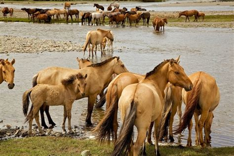 wild horses asia horse central native przewalski mongolian