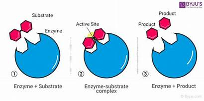 Enzyme Catalysis Chemistry Behind Enzymes Catalyst Characteristics