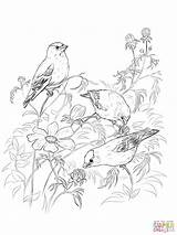 Coloring Goldfinch American Loon Pages Printable Eastern Goldfinches Template Drawings Sketch Print Getcolorings Colori sketch template