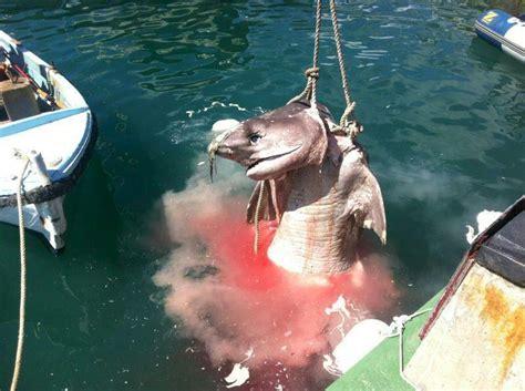mallorca weißer hai toter hai in port d andratx 187 lokales 187 nachrichten