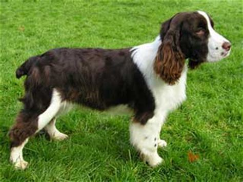 english springer spaniel information and facts dog breeds