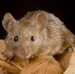 Maus In Wohnung : biologie m use singen komplexe silbenfolgen welt ~ Markanthonyermac.com Haus und Dekorationen